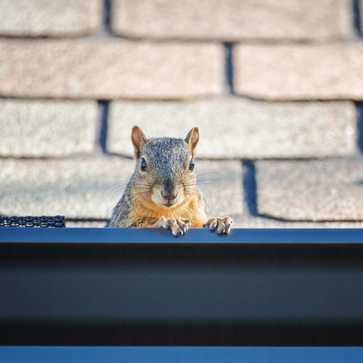 squirrels in gutters