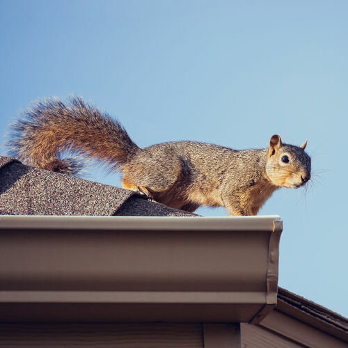 A Squirrel on a Roof